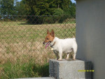 Chien Benny! - Jack Russell Femelle (0 mois)