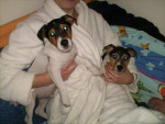 Chien Puppies! - Jack Russell Femelle (2 mois)