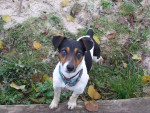 Chien Yumi - Jack Russell Femelle (2 ans)