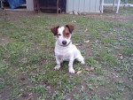Chien Elyos - Jack Russell Femelle (7 mois)