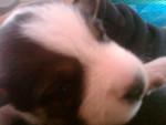Chien Alondra - Jack Russell Femelle (1 mois)