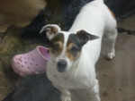 Chien mable - Jack Russell Femelle (13 ans)