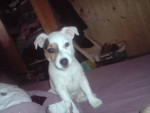 Chien Dixie - Jack Russell Femelle (1 an)