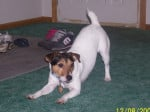 Chien Randy - Jack Russell Femelle (4 ans)