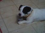 Chien milo mon chien que j aime de tout coeur - Jack Russell Mâle (3 ans)