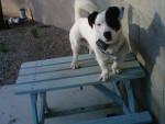 Chien milo mon chien dans la vraie vie - Jack Russell Mâle (3 ans)