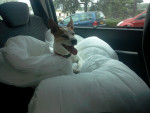 Chien Pitchoune - Jack Russell Femelle (12 ans)