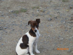 Chien candy - Jack Russell Femelle (3 mois)