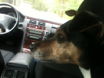 Chien Lucky - Jack Russell Femelle (12 ans)