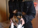 Chien encore Doggy - Jack Russell Mâle (3 ans)