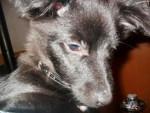 Chien Armon - Jack Russell Mâle (10 mois)