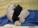 Chien Amelia, Amira, Aylin - Jack Russell Femelle (0 mois)