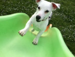 Chien Haribo - Jack Russell Mâle (1 an)
