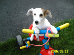 Chien Barbouille - Jack Russell Femelle (8 mois)