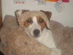 Chien Harry - Jack Russell Mâle (2 ans)