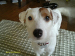 Chien mollie - Jack Russell Femelle (2 ans)