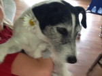 Chien Louie - Jack Russell  (0 mois)