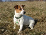 Chien Jack Russell- Sally - Jack Russell  (0 mois)
