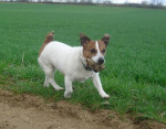 Chien jack russell--Sally - Jack Russell  (0 mois)
