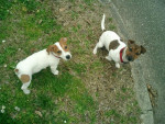 Chien Jack russell Amy et Bud - Jack Russell  (0 mois)