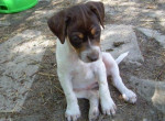 Chien Jack Russell - Jack Russell  (0 mois)