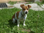 Chien  jack russell  brindille - Jack Russell  (0 mois)