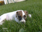Chien CASSIE jack russell - Jack Russell  (0 mois)