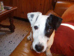 Chien jack russell COSMO - Jack Russell  (0 mois)