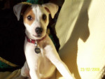 Chien Cyrus, Jack Russell - Jack Russell  (0 mois)