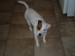 Chien Jack Russell - Nina - Jack Russell  (0 mois)