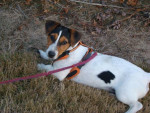 Chien jack russell : EVE - Jack Russell  (0 mois)