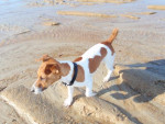 Chien Jack Russell fitzy - Jack Russell  (0 mois)