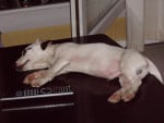 Chien Jack Russell - Krusty - Jack Russell  (0 mois)