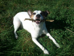Chien Charly mon petit Jack Russell  - Jack Russell  (0 mois)