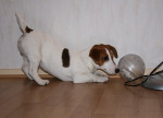 Chien Zoo a 5 mois avec le hamster - Jack Russell  (5 mois)