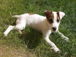 Chien Jack - Jack Russell  (0 mois)