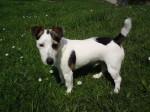 Chien Dap : 1er DOG SHOW classé excellent beauté - Jack Russell  (0 mois)