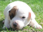 Chien Flash, jack russel 4 semaines - Jack Russell  (0 mois)