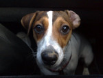 Chien Easy gros plan jack russel 1 an - Jack Russell  (0 mois)
