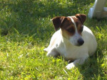 Chien Easy a maintenant 1 an - Jack Russell  (0 mois)