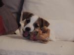 Chien Heden et son jouet - Jack Russell  (0 mois)