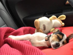 Chien Hermès 3 mois et demi en pleine sieste - Jack Russell Femelle (3 mois)