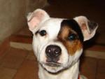 Chien Loisjack russel terrier à 1 an - Jack Russell  (0 mois)