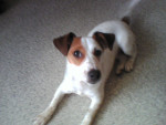 Chien Dolly - Jack Russell Femelle (2 ans)