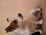 Chien Tina - Jack Russell Femelle (2 ans)
