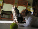 Chien CALY ET TAO - Jack Russell Femelle (6 ans)