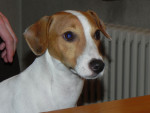 Chien Kenzo - Jack Russell Femelle (7 ans)