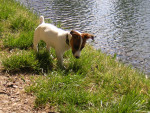 Chien Thelma - Jack Russell Femelle (4 mois)
