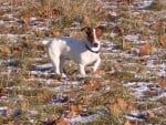 Chien Thelma 1 an - Jack Russell Femelle (1 an)