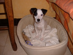 Chien Mylo - Jack Russell  (0 mois)